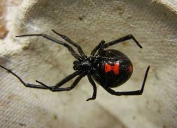 this is an image of black widow spider vallejo