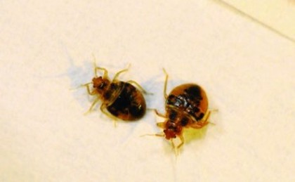 this is an image of bed bug in vallejo, ca