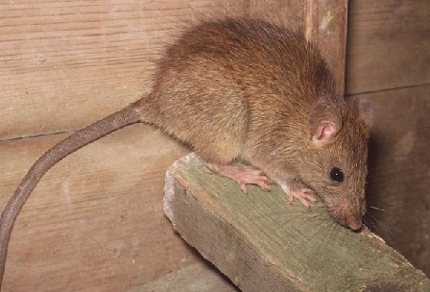 This is a picture of a mouse - Vallejo rat exterminator