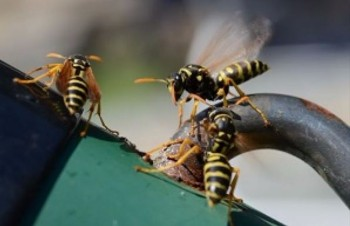 This is a picture of wasps - american canyon pest control