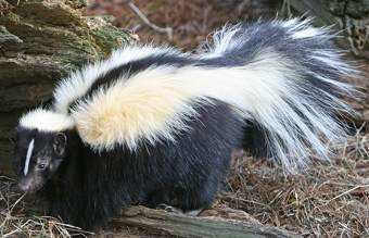 This is a picture of a skunk - animal control american canyon