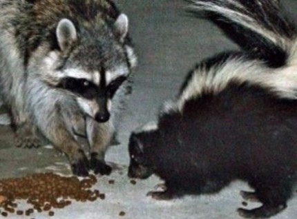 an image of a raccoon and skunk in Vallejo