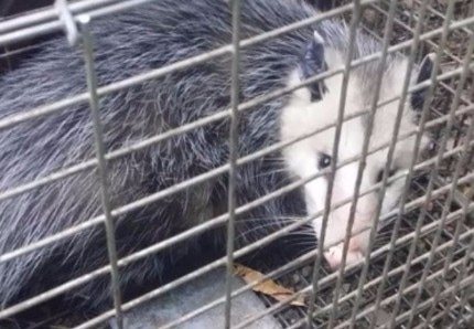 a picture of a possum captured in a cage