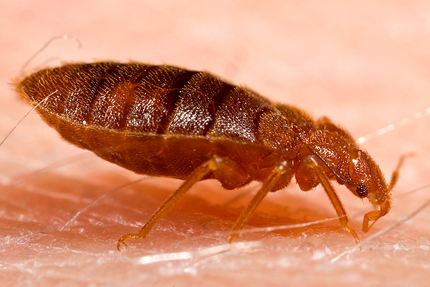 This is a picture of a bed bug - Vallejo