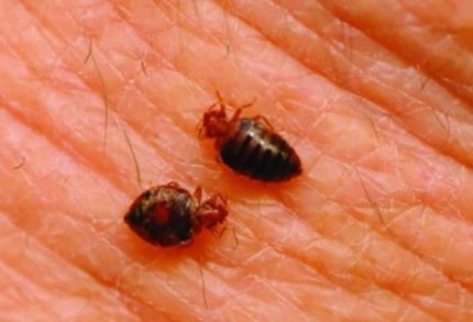 Image of bugs - bed bug exterminator in vallejo