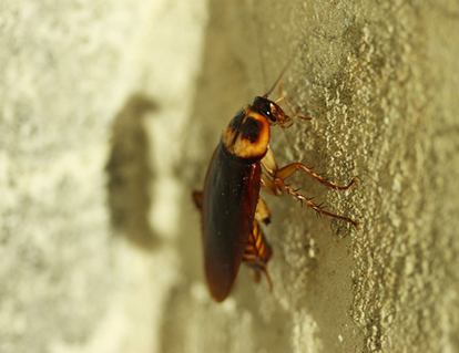 This is a picture of a cockroach - Vallejo cockroach control