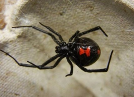 This is as picture of a black widow - spider control Vallejo, CA