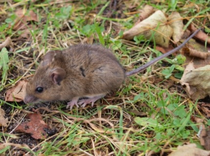 This is an image of a vole - Vallejo, CA