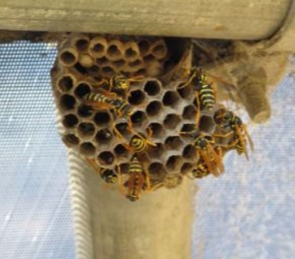 Picture of wasps in their hive - wasps exterminator vallejo